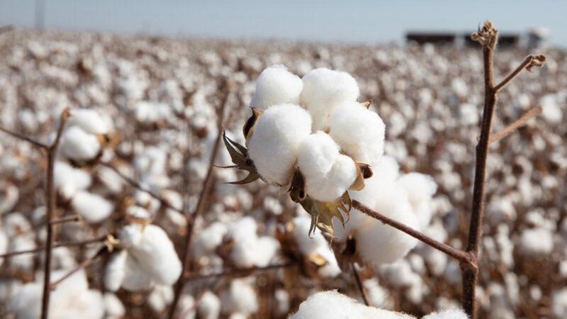 Preço do algodão em Mato Grosso valoriza 7,6%