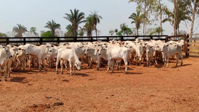 Experimento conduzido pela UFMT Sinop e associação busca reduzir tempo de abate de gado com melhor resultado
